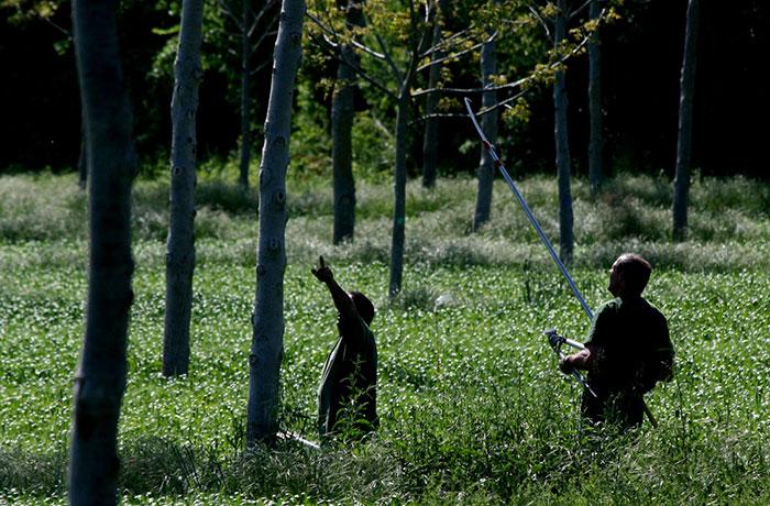 élaguage d'arbres en agroforesterie