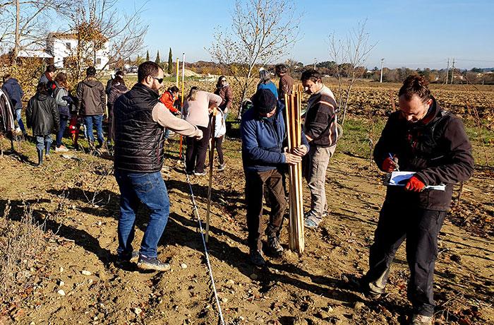 plantation d'arbres dans les vignes pour l'agroforesterie