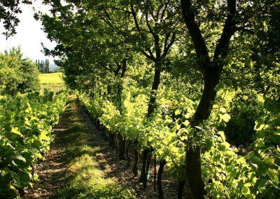 vigne et agroforesterie