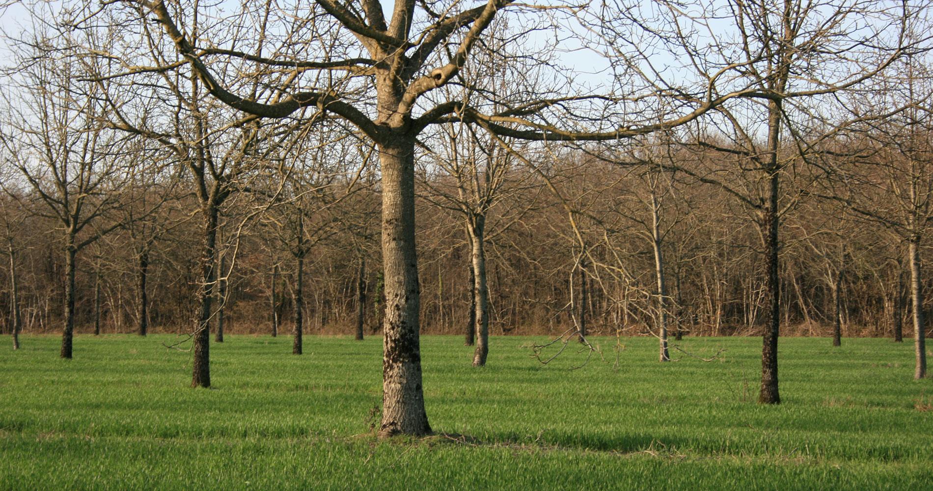 agroforesterie et grands cultures dans l'Hérault